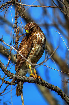 Photograph - Black And White Red Shouldered Hawk by Kevin Banker