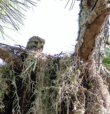 Winter Animals Royalty Free Images - Red Shouldered Hawk Nestling Royalty-Free Image by Norman Johnson