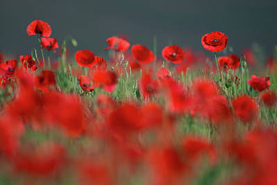 Photograph - Red Splashes Of Wild Poppies by Vlad Sokolovsky