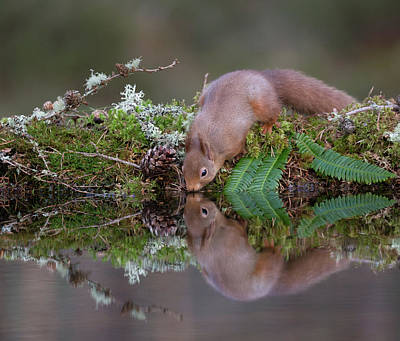 Photograph - Red Squirrel Drinks From A Woodland Pool by Peter Walkden
