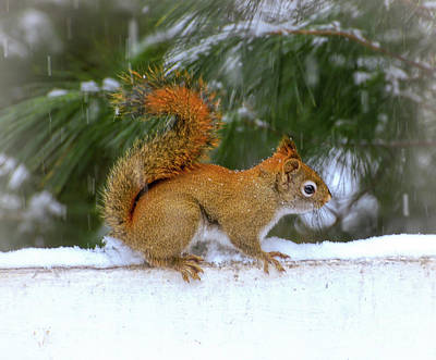 Photograph - Red Squirrel In The Snow by Kerri Farley