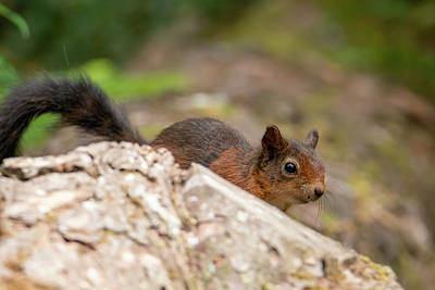 Photograph - Red Squirrel by Kuni Photography