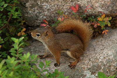 Photograph - Red Squirrel by Paul Mangold