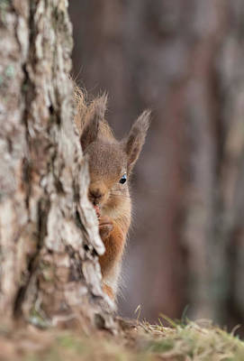 Photograph - Red Squirrel Peering Round A Tree by Peter Walkden