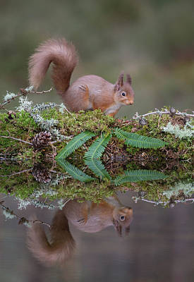 Photograph - Red Squirrel Visits Woodland Pool by Peter Walkden