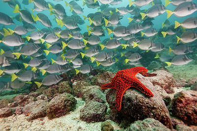 Photograph - Red Starfish And Yellowtail Surgeonfish by Michele Westmorland