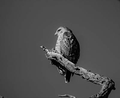 Photograph - Red Tail Hawk In Black And White by Karen Silvestri