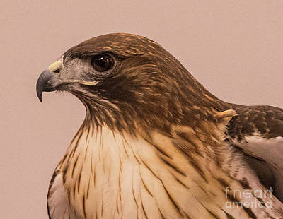 Modern Sophistication Beaches And Waves Royalty Free Images - Red Tail Hawk Royalty-Free Image by May Finch
