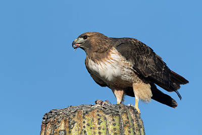 Photograph - Red-tail Hawk On A Saguaro  by Kathleen Bishop