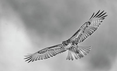 Photograph - Red Tail In Flight Bw by Rick Mosher