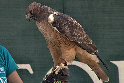 Mississippi Kite Photograph - Red Tailed Hawk-2 by Michael Gordon