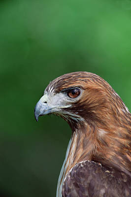 Red Tail Hawk Wall Art - Photograph - Red-tailed Hawk Buteo Jamaicensis by Konrad Wothe/ Minden Pictures