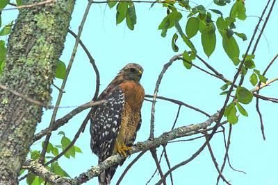 Photograph - Red Shouldered Hawk by Lisa Wooten