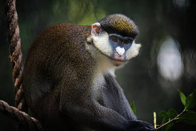 Photograph - Red-tailed Monkey by Bud Simpson