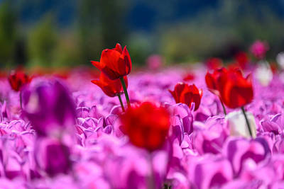 Food And Flowers Still Life Rights Managed Images - Red tulips in a sea of purple tulips Royalty-Free Image by Judit Dombovari