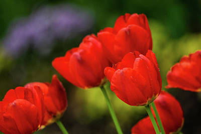 Sean Rights Managed Images - Red Tulips Royalty-Free Image by Mary Ann Artz