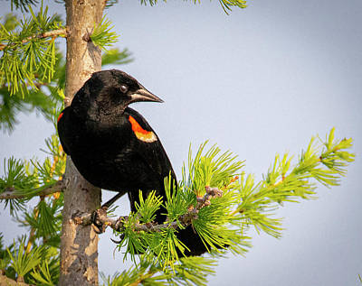 Photograph - Red-winged Black Bird In A Tree by Philip Rispin