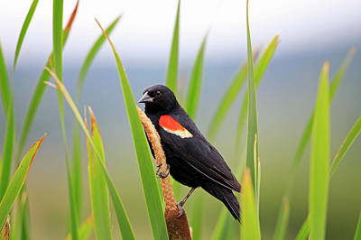 Photograph - Red-winged Blackbird by Gary Corbett