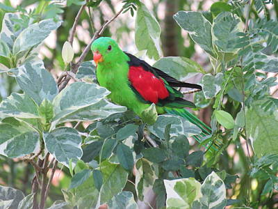Girl Wall Art - Photograph - Red-winged Parrot by Joan Stratton