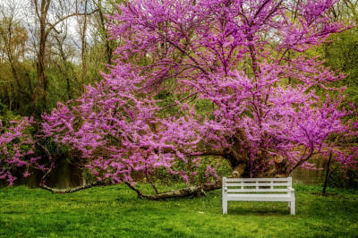 Photograph - Redbud Tree During The Spring by Susan Candelario