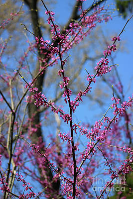 Photograph - Redbuds And Blue Skies by Karen Adams