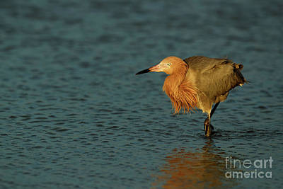 Photograph - Reddish Egret by Beve Brown-Clark Photography