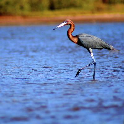 Standing Photograph - Reddish Egret by Memo Vasquez