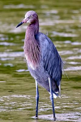 Photograph - Reddish Egret by Susan Rydberg