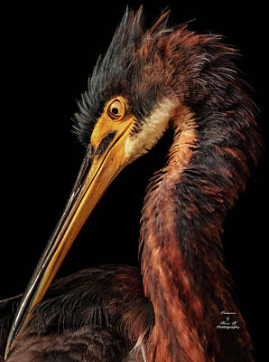 Photograph - Reddish Heron Profile by Kevin Banker