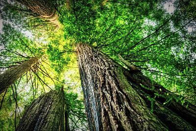 Photograph - Redwood Canopy Radiance by Stuart Litoff