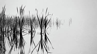 Photograph - Reed Reflection by Philip Rispin