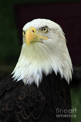 Photograph - Regal Eagle by Paula Guttilla