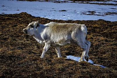 Photograph - Reindeer On Spitsbergen by Kai Mueller