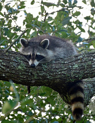 Photograph - Relaxing Raccoon by Bruce Gourley