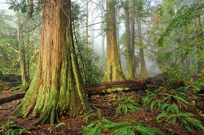Photograph - Remnant Old Growth Cedar Trees by Michael Wheatley
