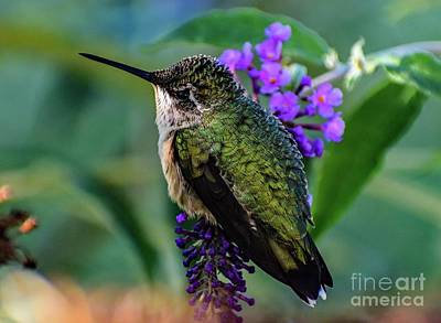 Christmas Christopher And Amanda Elwell - Rescued Ruby-throated Hummingbird by Cindy Treger