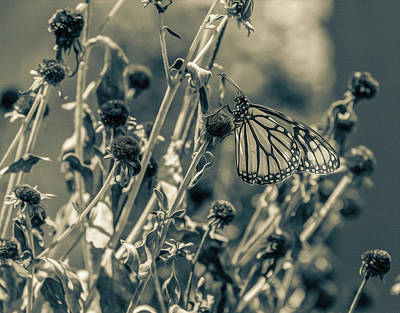 Photograph - Resting Butterfly Bw by Keith Smith