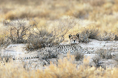 Grateful Dead - Resting cheetah by Etienne Outram