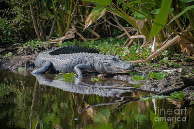 Photograph - Resting Gator by Judy Hall-Folde