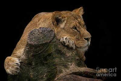 Easter Egg Hunt Rights Managed Images - Resting Lioness Royalty-Free Image by Rawshutterbug