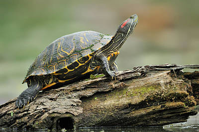 Painted Turtle Wall Art - Photograph - Resting Painted Turtle, Chrysemys by Tim Zurowski