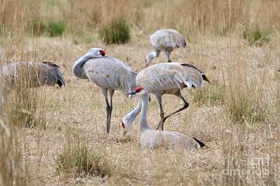 Photograph - Resting Sandhill Cranes In Field by Carol Groenen