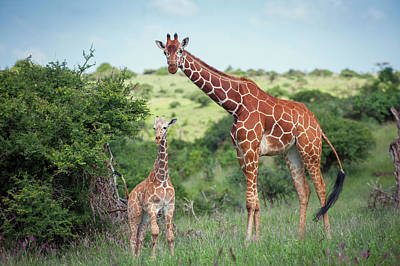 Togetherness Photograph - Reticulated Giraffe Giraffa by Sean Crane/ Minden Pictures