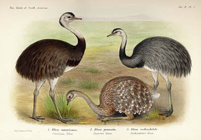 Emu Wall Art - Painting - Rhea by Charles Chubb