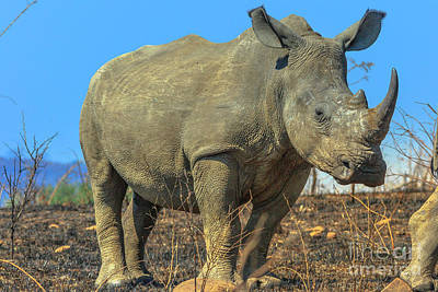 Photograph - Rhino In Hluhluwe Imfolozi Park by Benny Marty
