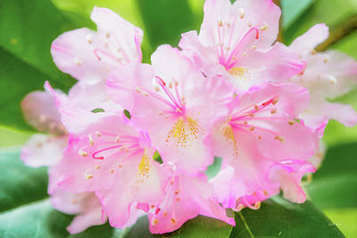 Photograph - Rhododendron 4 by Leland D Howard