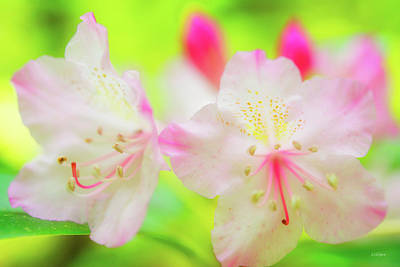 Photograph - Rhododendron 5 by Leland D Howard