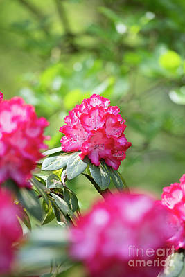 Photograph - Rhododendron President Roosevelt Flowering by Tim Gainey