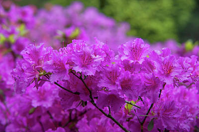 Photograph - Rhododendron Purple Triumph by Jenny Rainbow