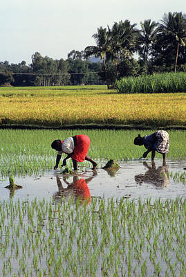 Kerala Photograph - Rice Plantations, Kerala, South India by Joan Pollock